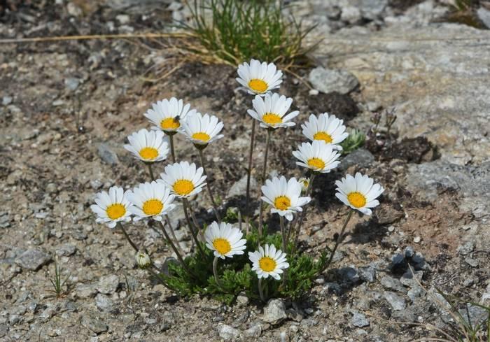 Alpine Moon Daisy (Leucanthemopsis alpina)