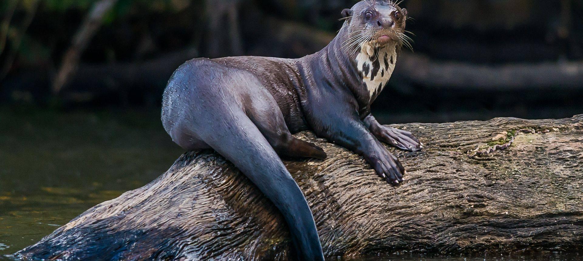 Giant River Otter Shutterstock 164389889