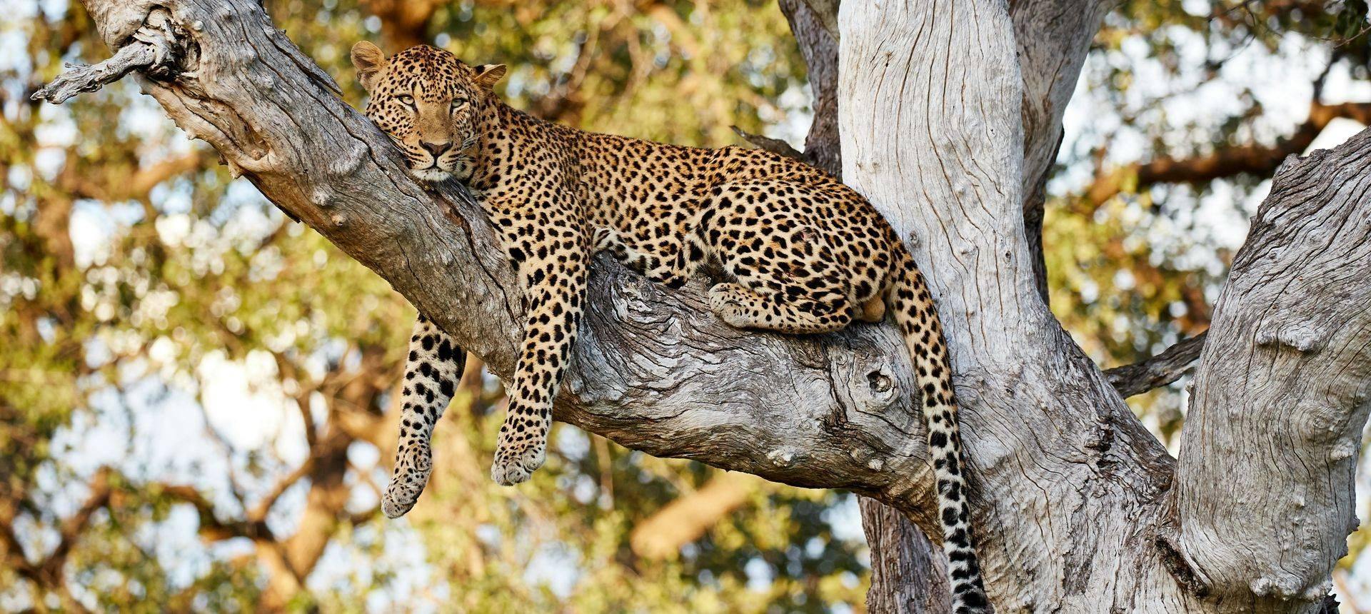 Leopard, South Luangwa, Zambia Shutterstock 724954630