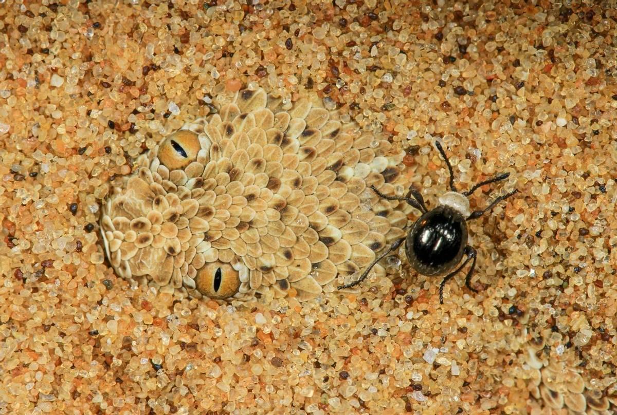 Peringuey's Adder (Bitis peringueyi), Namibia