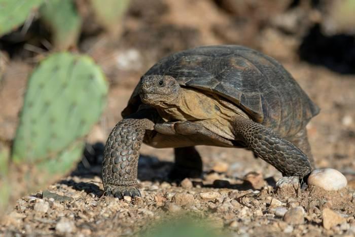 Sonoran Desert Tortoise (Gopherus morafkai)