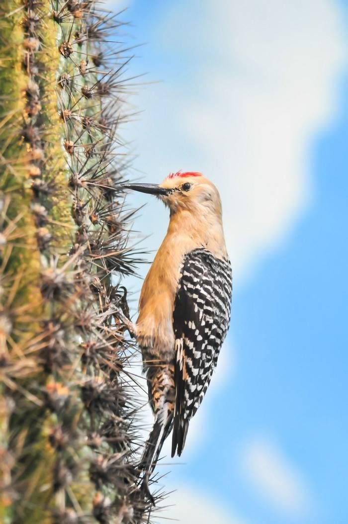 Gila Woodpecker Shutterstock 146253902