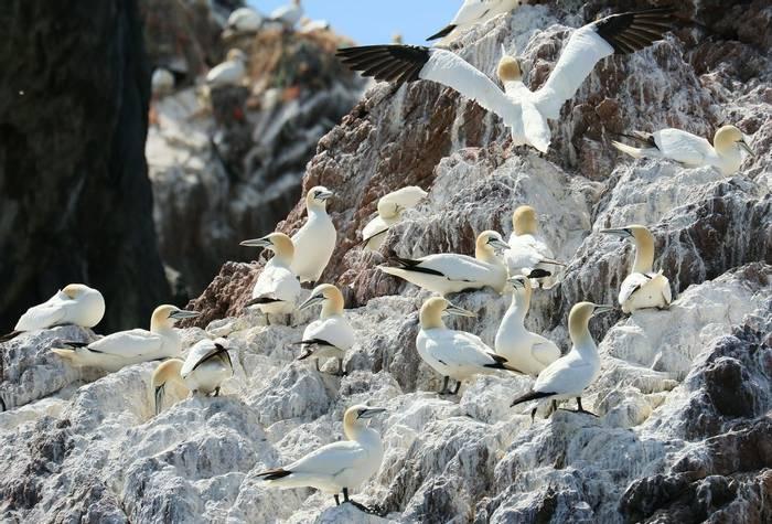 Gannet Colony, Les Etacs, Alderney, Martin Batt