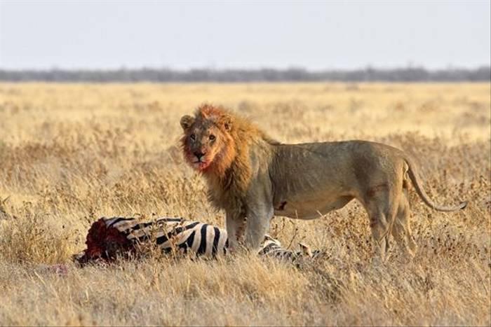 Lion with Zebra kill (Neil Macleod)