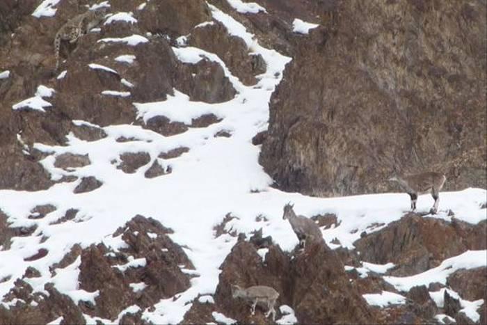 Snow Leopard female hunting Blue Sheep (Tim Stowe)