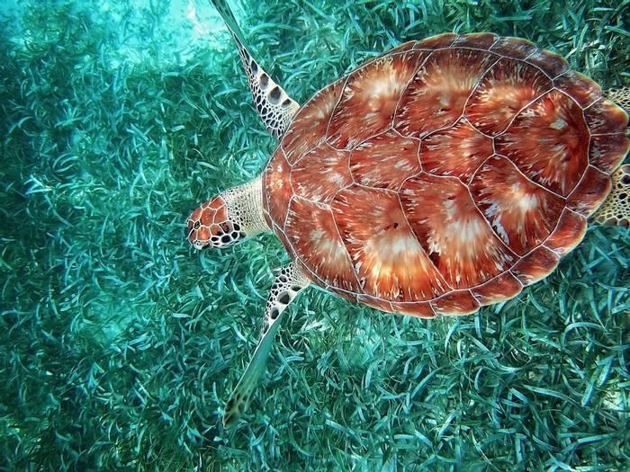 Turtle, Hol Chan Marine Reserve, Belize shutterstock_632515814.jpg