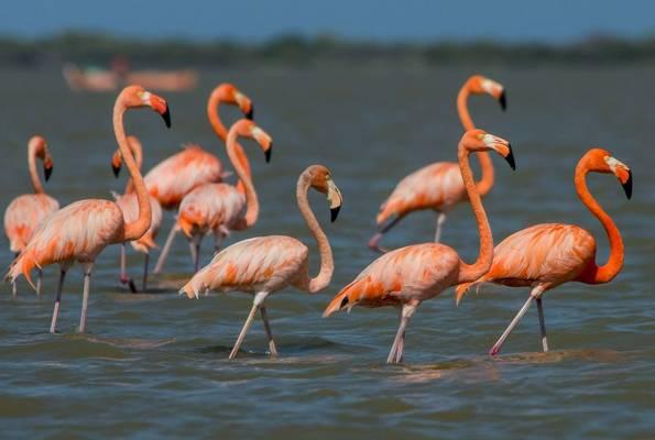 American Flamingo by Ferney Salgado