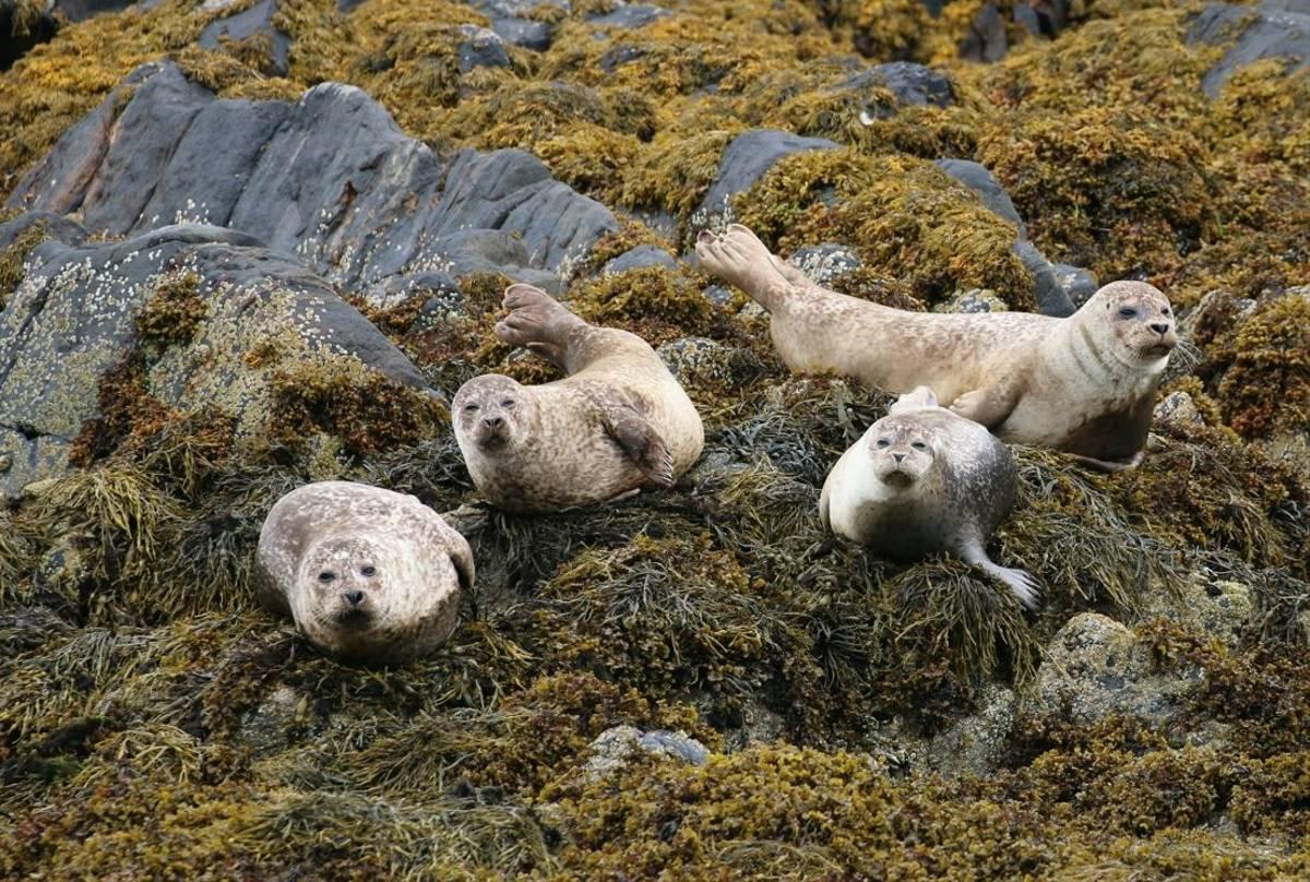 Common Seals off Coll Ardnamurchan (Martin Hancock)