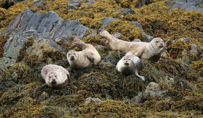 Common Seals off Coll Ardnamurchan (Martin Hancock)