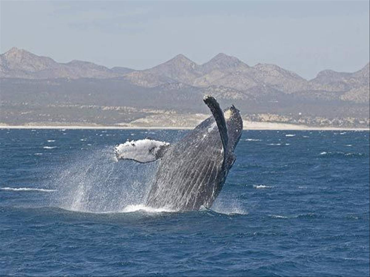 Humpback Whale breaching (Paul Marshall)