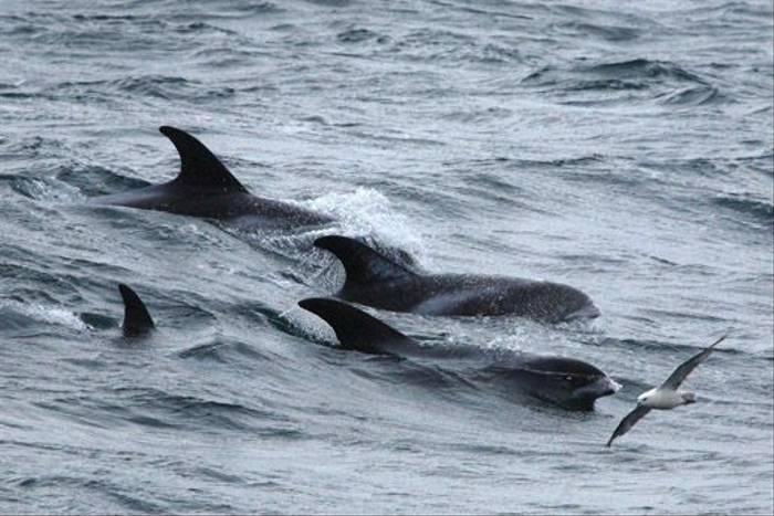 White-beaked Dolphins & Fulmar