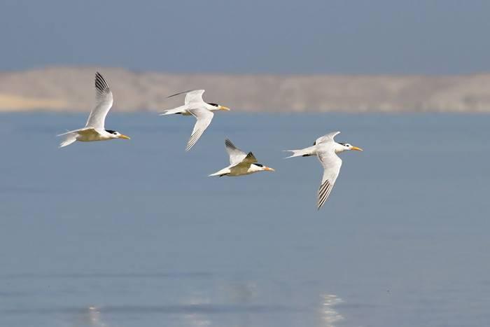 African Royal Terns, Bay of Dakhla (Javi Elorriaga)
