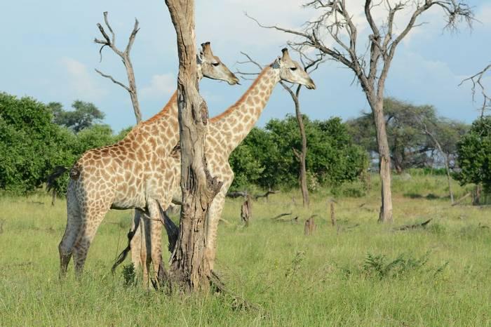 Giraffes (Eric Browett)