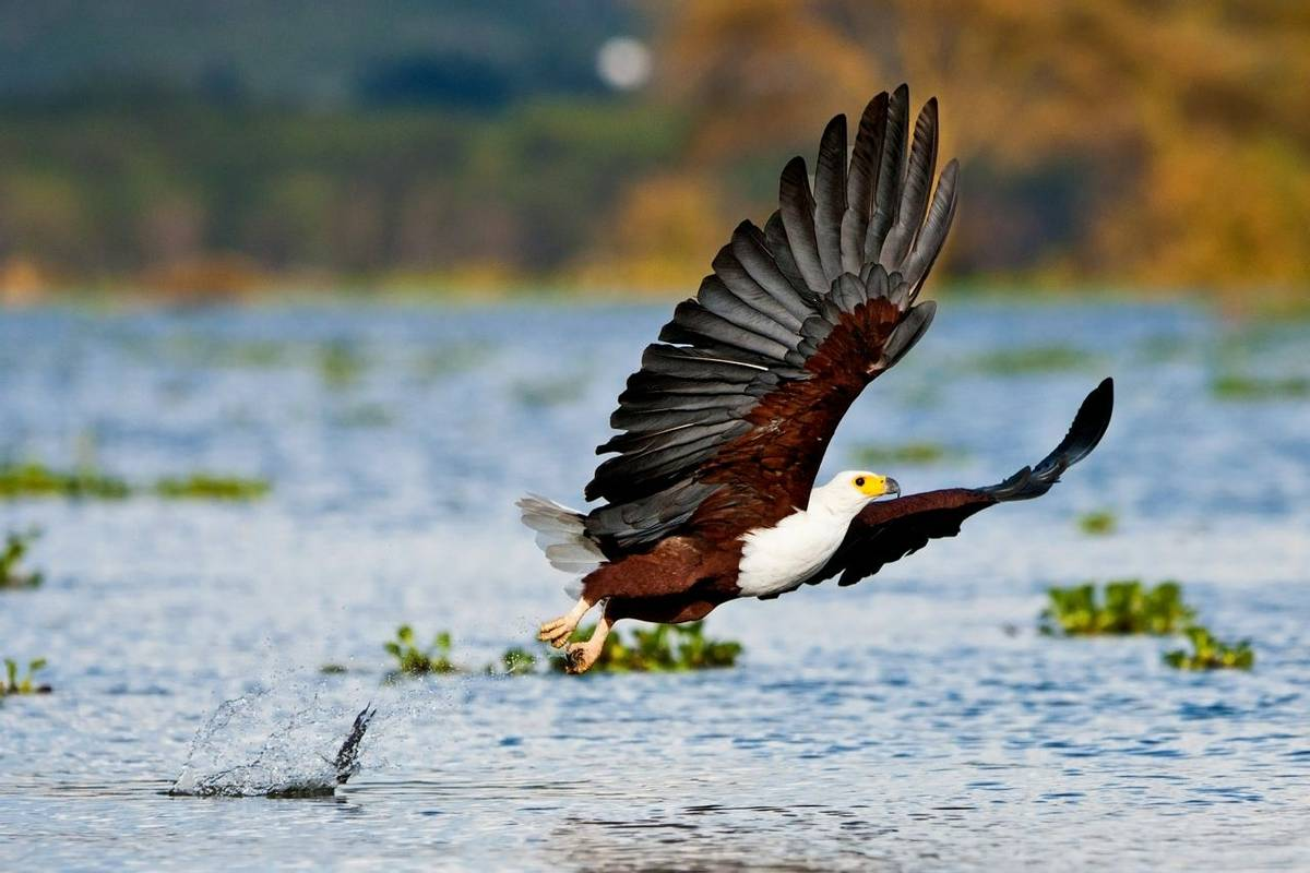 African Fish Eagle shutterstock_117284716