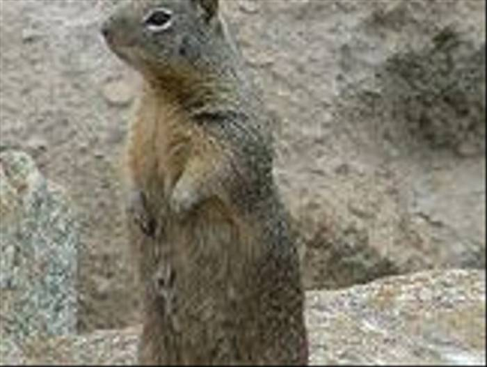 California Ground Squirrel  (Peter Dunn)