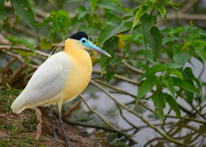 Capped Heron (Stephen Woodham)