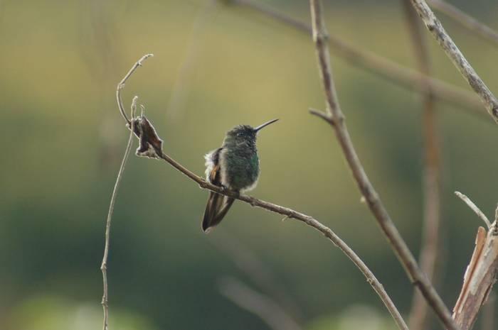Magnificent hummingbird (Brian West)