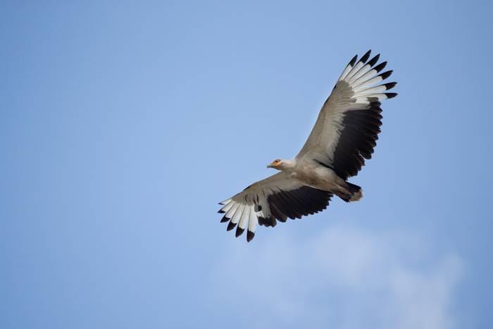 Palm-nut Vulture shutterstock_236612302.jpg