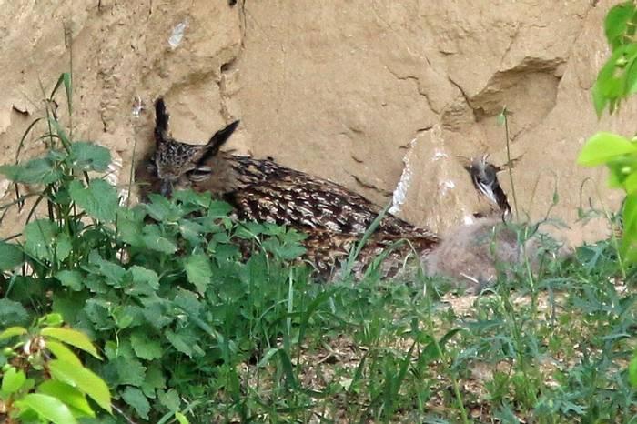Eagle Owl & chick (R. Davidson)