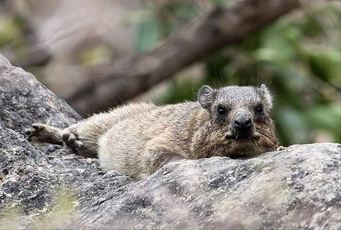 Rock Hyrax (Chris-Ward)