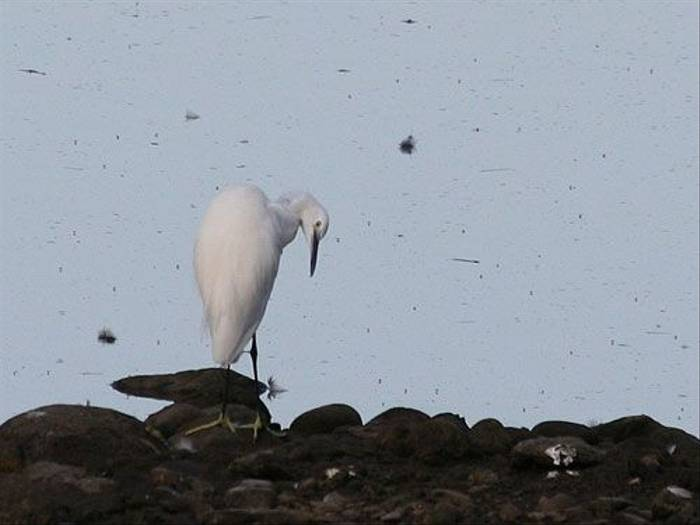 Little Egret (Tony Mainwood)