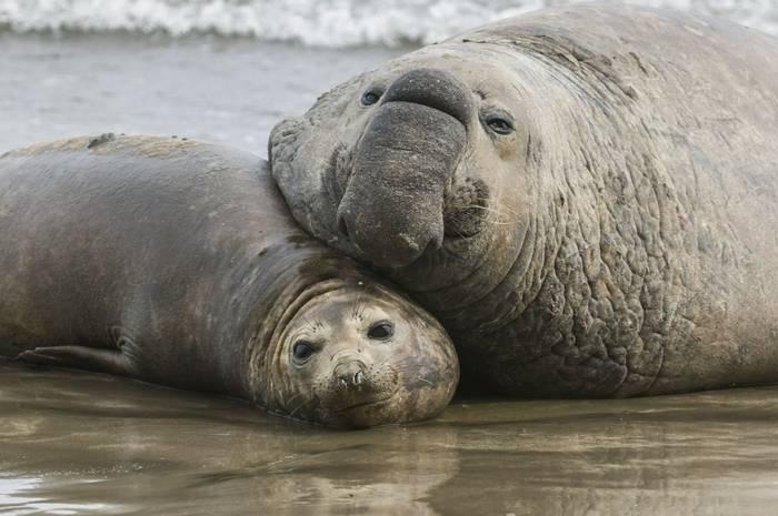 Elephant Seals, Argentina shutterstock_757098550.jpg