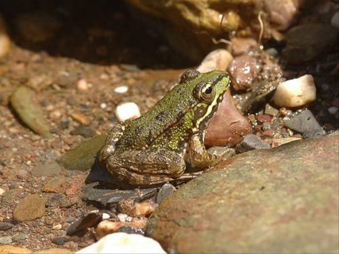 Marsh Frog (David Morris)