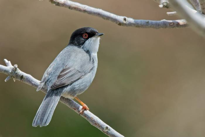 Sardinian Warbler male (Mike Vickers)