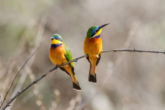 Blue-breasted Bee-eaters Langano Ethiopia shutterstock_1177195627.jpg