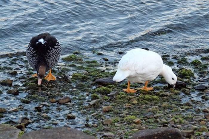Kelp Goose (Peter Nichols)