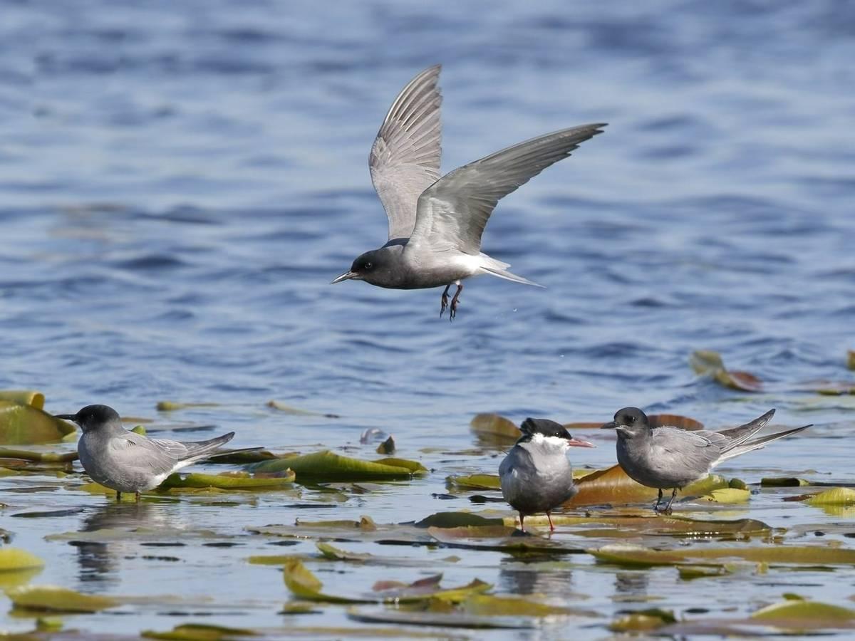 Black Tern (Kevin Elsby)