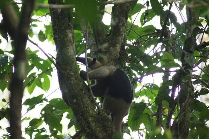 Northern Tamandua (Brian West)