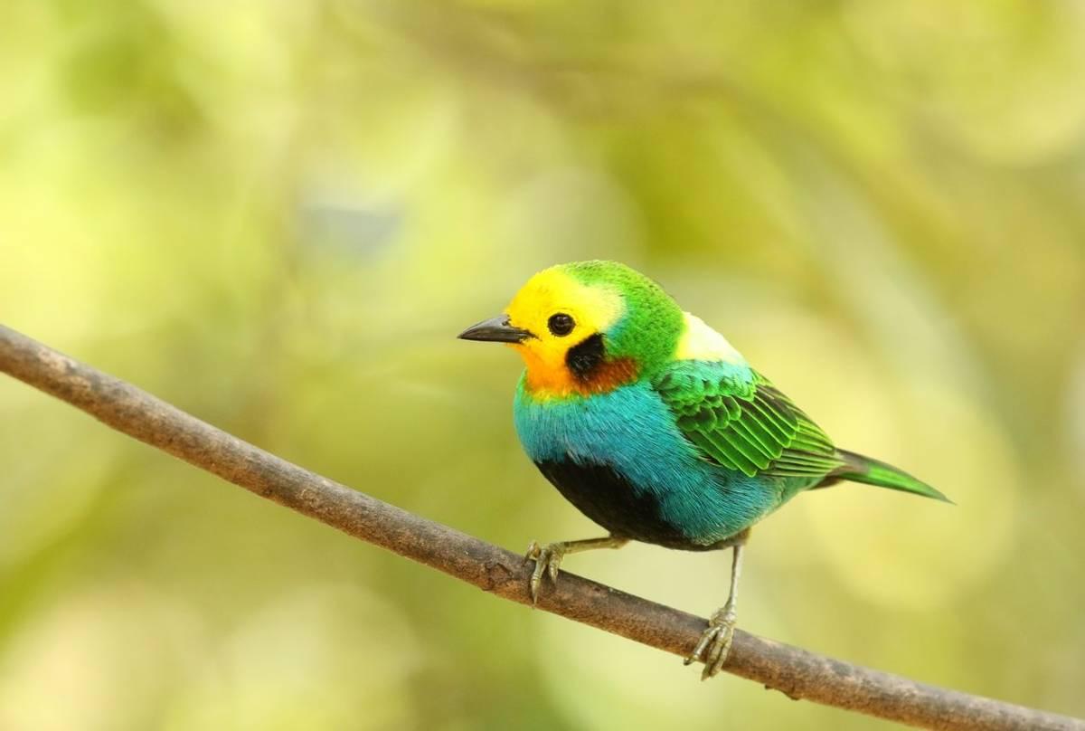 Multicoloured Tanager (Rob Smith).JPG