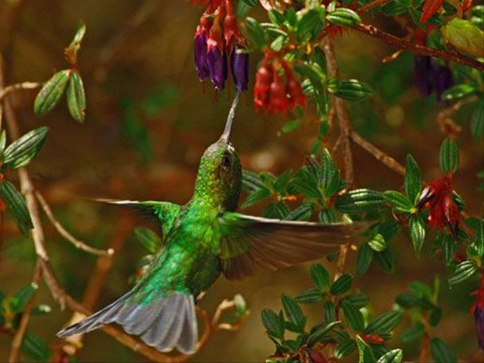 Coppery-naped Puffleg Hummingbird (Ian Williamson)