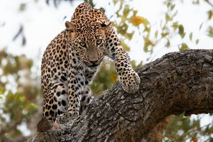 Leopard Sri Lanka shutterstock_513775720.jpg