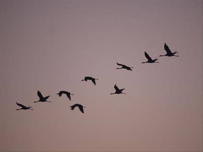 Cranes flying in to roost (Malcolm Stott)