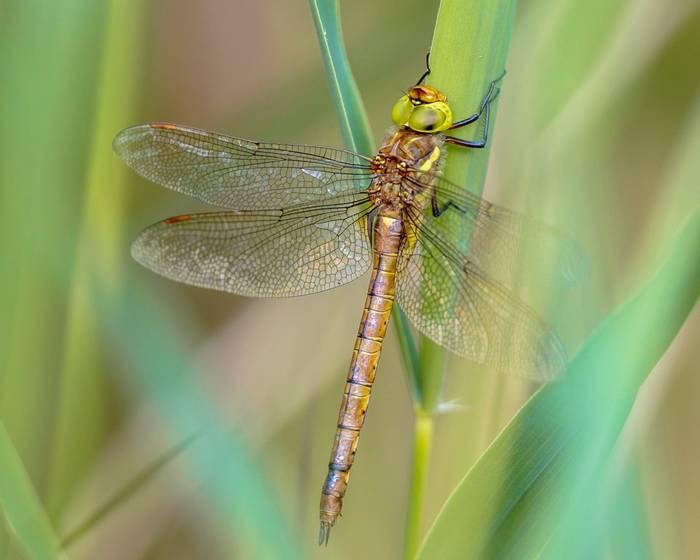 Green-eyed Hawker dragonfly, France shutterstock_1326718607.jpg