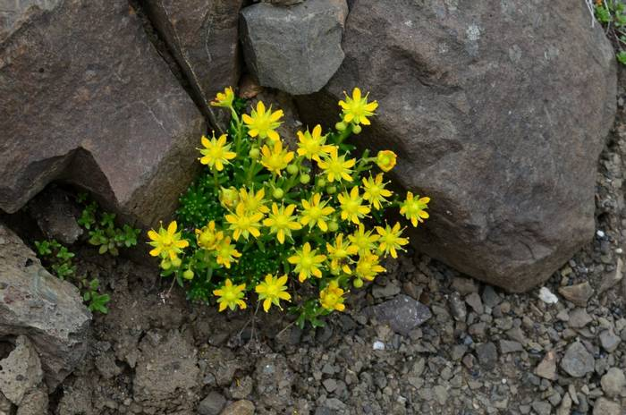 Yellow Saxifrage by D Phillips.JPG