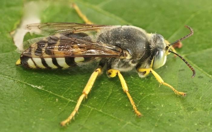 Bembix bidentata  - a Crabronid wasp species (Alan Outen)