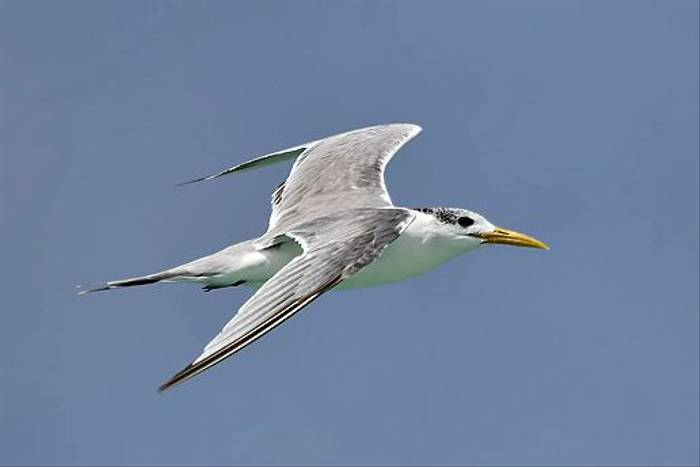 Swift Tern (Chris-Ward)