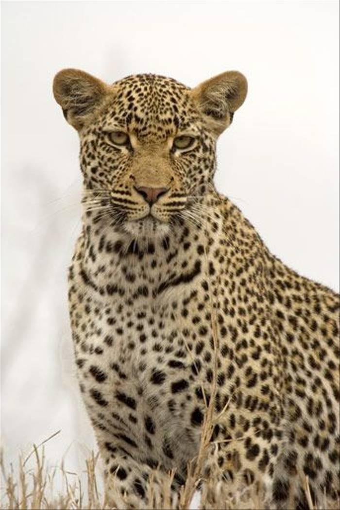 Leopard Portrait (Leon Marais)