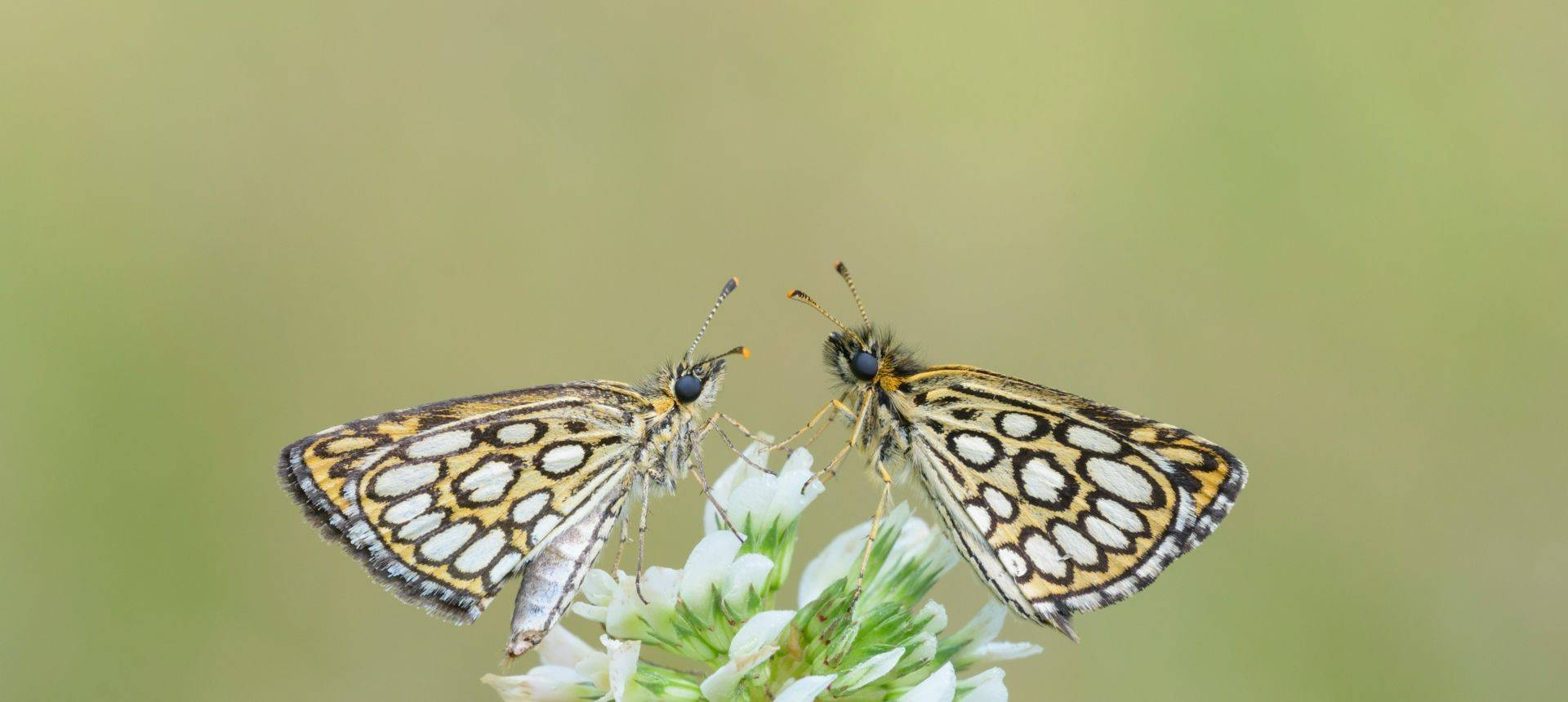 Large Chequered Skipper Shutterstock 246798826