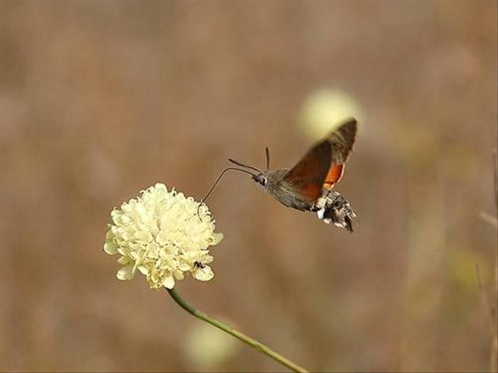 Hummingbird Hawkmoth (David Morris)