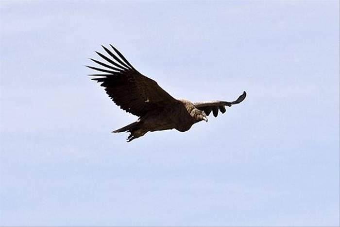 Black Vulture (Ian Bruce)