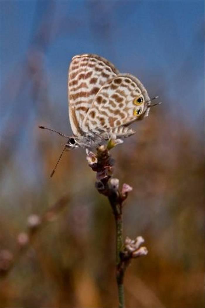 Short-tailed Blue Butterfly (Karen Meyer)
