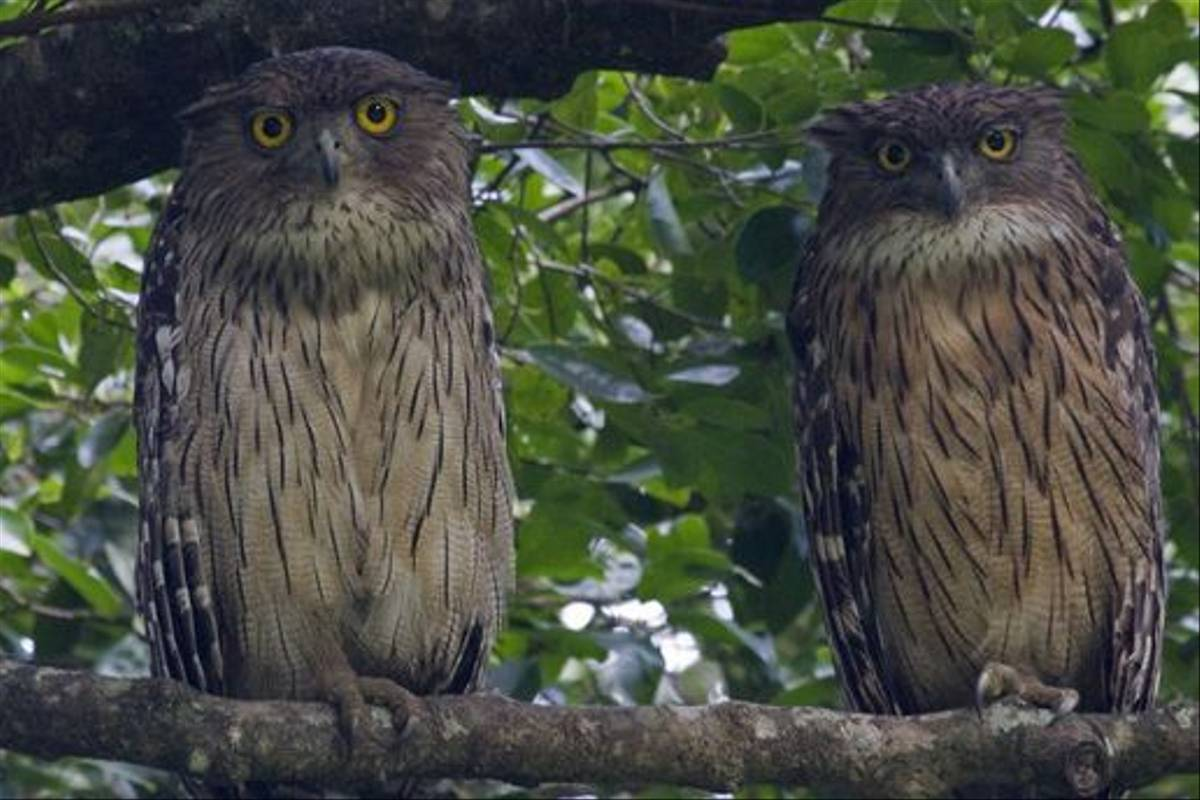 Brown Fish Owls (Colin Brown)