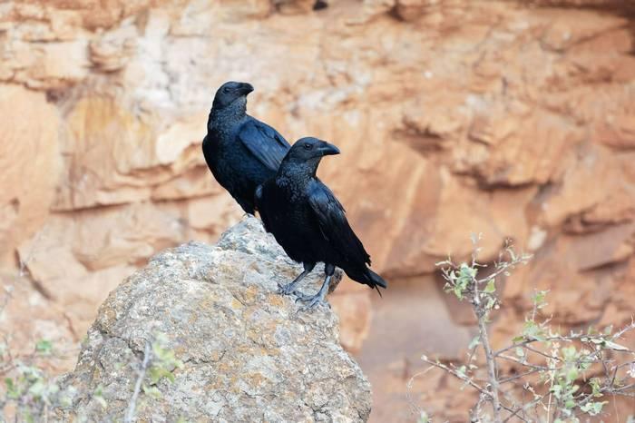 Fan-tailed Ravens shutterstock_1048740695.jpg