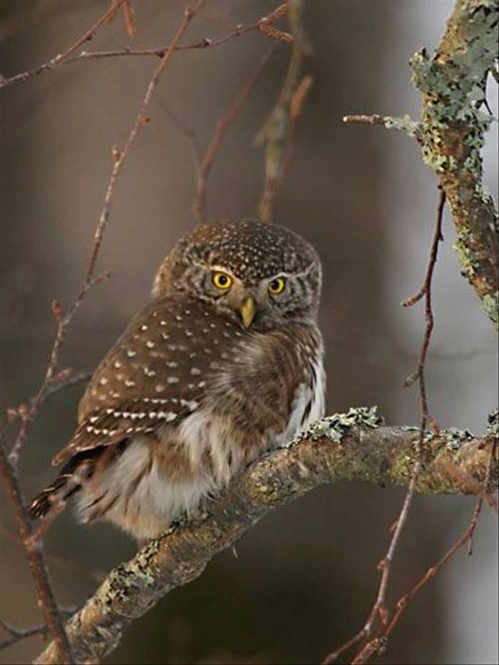 Pygmy Owl (Michael Bergman)