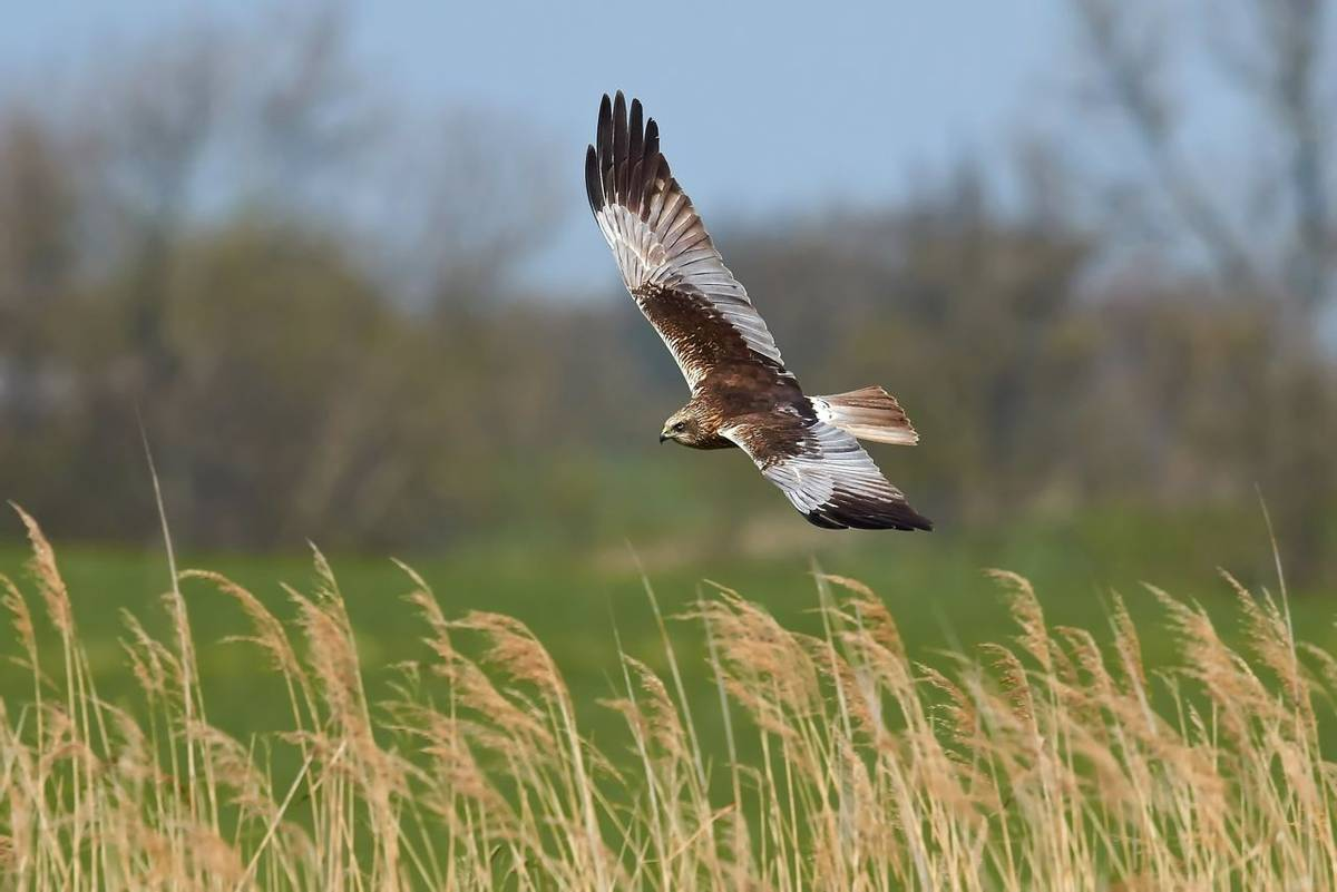 AdobeStock_35832757_Marsh_Harrier.jpeg