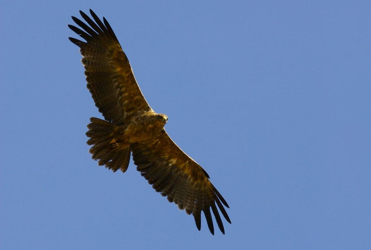 Golden Eagle Shutterstock 7651954
